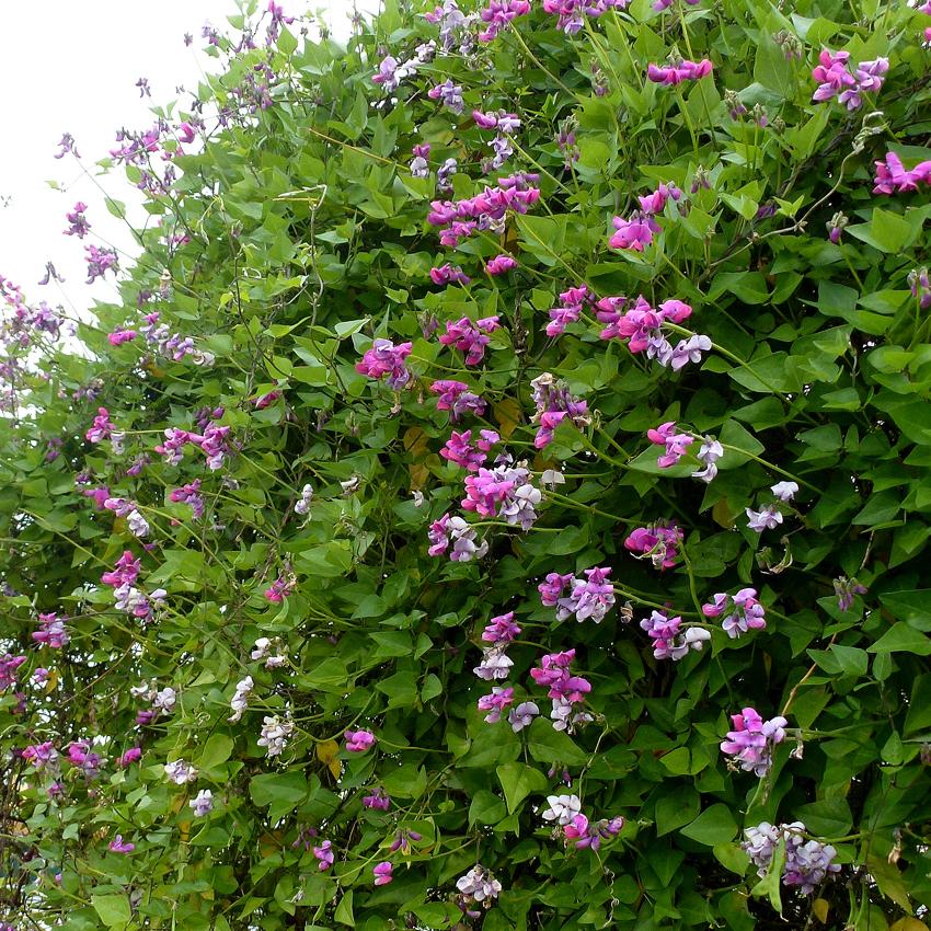 Dipogon Lignosus Cape Sweet Pea Buy Online At Annie S Annuals