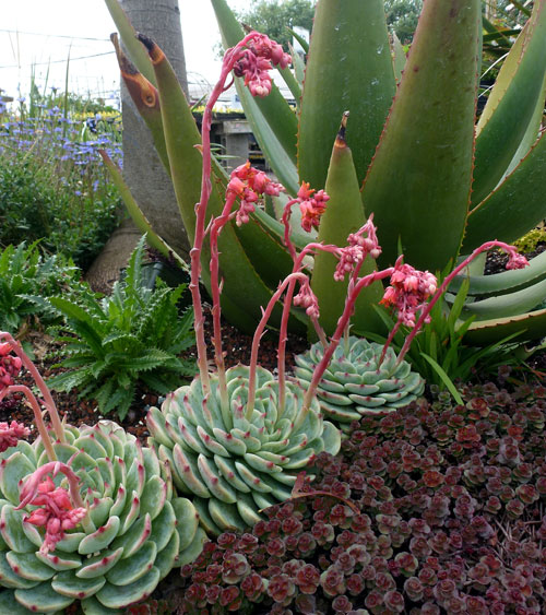 Echeveria colorata buy online at annie 39 s annuals for Succulents that do well in shade