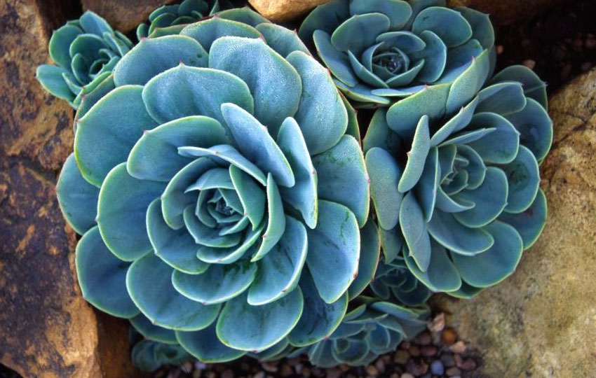 Echeveria Glauca Hens And Chicks Buy Online At Annie S Annuals