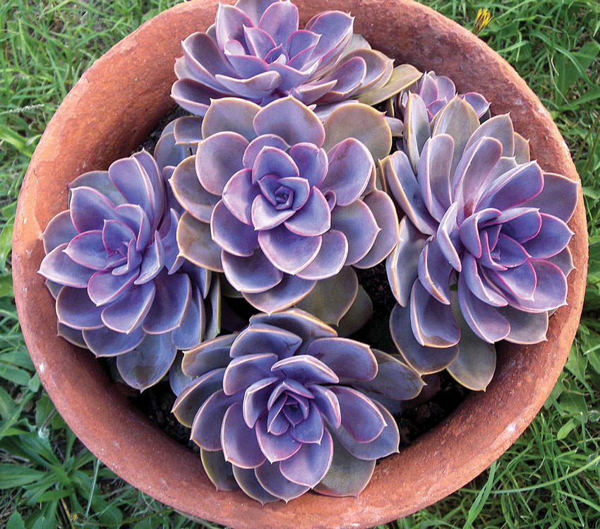 Echeveria Perle Von Nurnberg Buy Online At Annie S Annuals