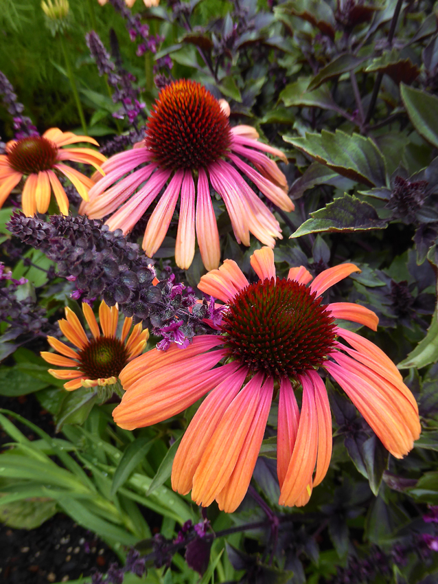 Echinacea Rainbow Marcella Buy Online At Annie S Annuals