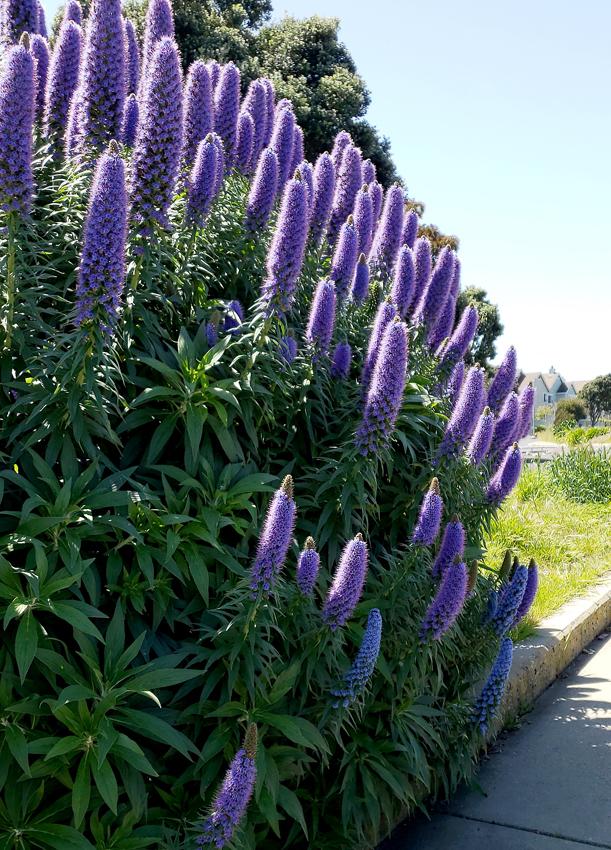 """Blue Green Online >> Echium fastuosum """"Pride of Madeira"""" - Buy Online at Annie ..."""