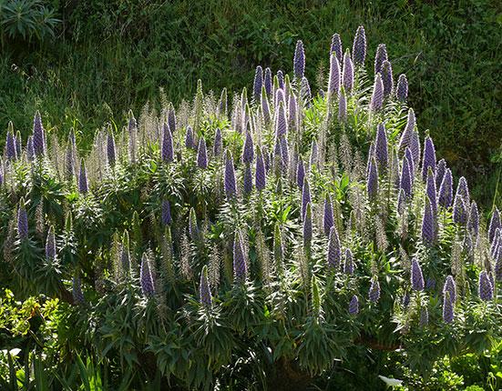 Echium fastuosum 'Pride of Madiera'