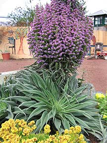 Echium hybrid 'Mr. Happy'