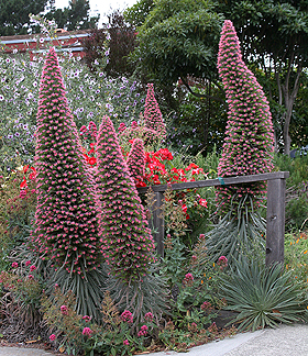 "Echium wildpretii ""Tower of Jewels"""