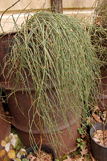 Ephedra sinensis