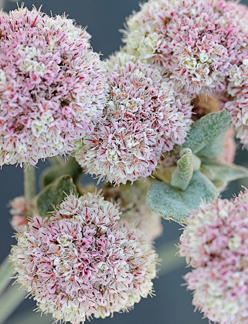 "Eriogonum latifolium ""Seaside Buckwheat"""