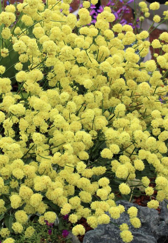 Eriogonum nudum ella nelsons yellow buckwheat buy online at eriogonum nudum ella nelsons yellow mightylinksfo