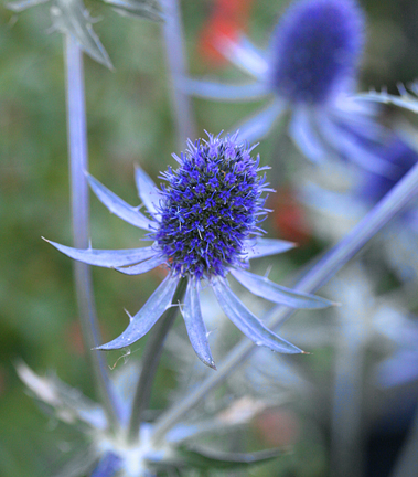 Eryngium tripartitum buy online at annies annuals an explosion of intense metallic blue flower heads are borne on wiry stems summer fall on this 3 tall 1 foot wide sun loving perennial mightylinksfo Image collections