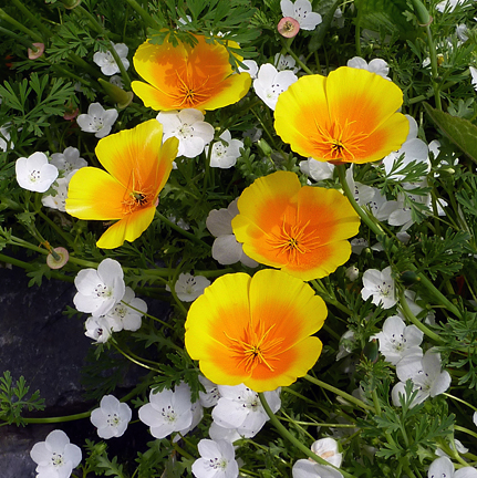 "Eschscholzia californica maritima 'Coastal Form' ""California poppy"""