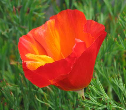 Eschscholzia 'Red Chief'