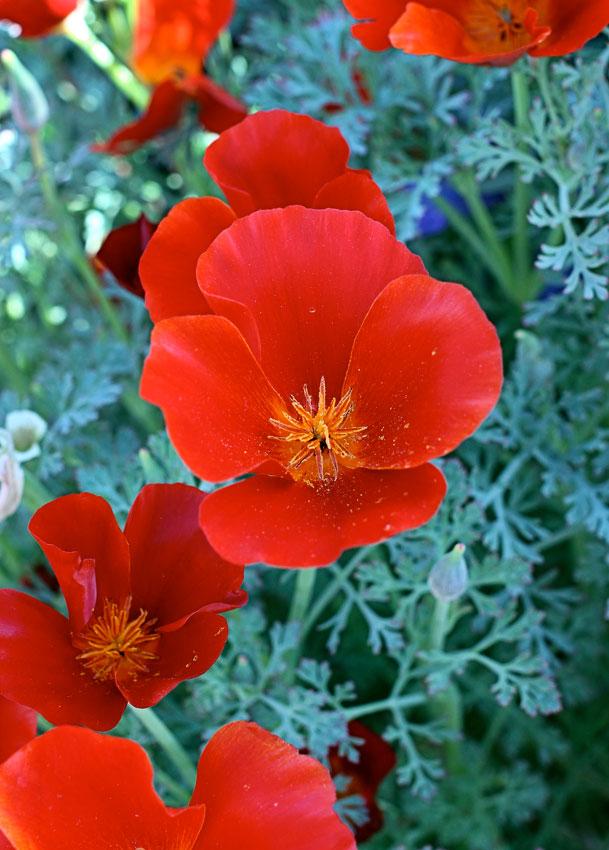 Eschscholzia californica red chief california poppy buy online eschscholzia californica red chief red california poppy mightylinksfo