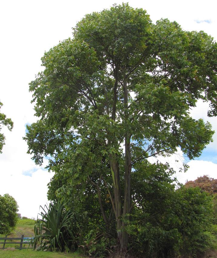 Eucalyptus Deglupta Rainbow Eucalyptus Buy Online At Annie S Annuals