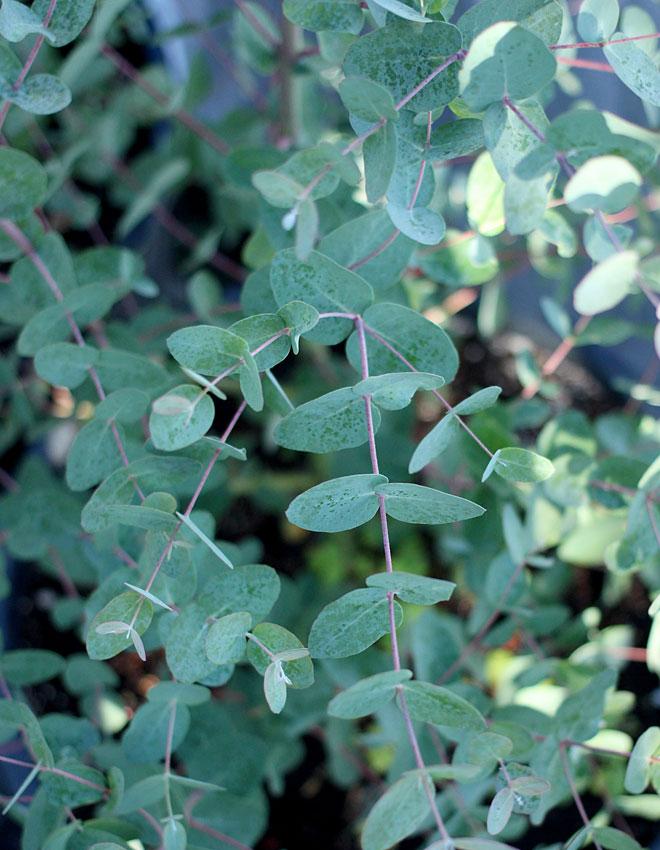 Eucalyptus Gunnii Silver Drop