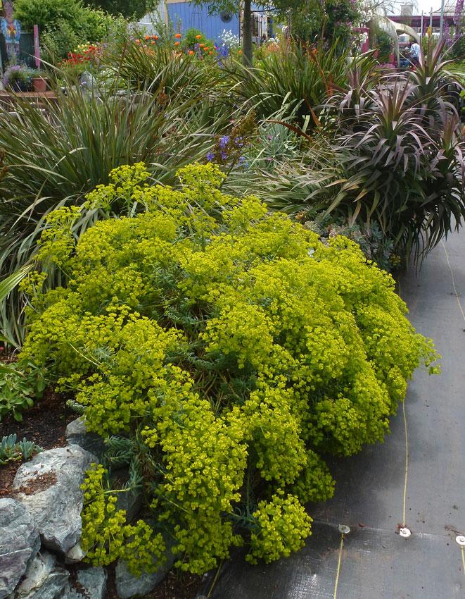 Euphorbia Blue Haze Buy Online At Annie S Annuals