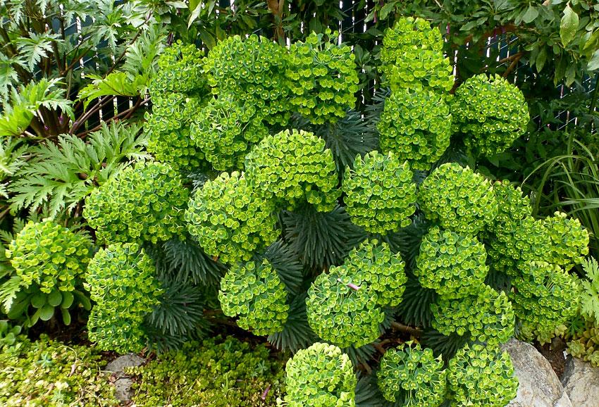Euphorbia Characias Dwarf Buy Online At Annie S Annuals