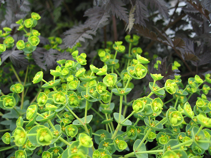 Euphorbia Portlandica Dolce Vita Portland Spurge