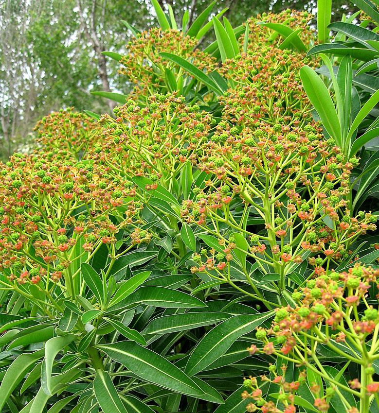 X10 SEEDS ..EUPHORBIA MELLIFERA A.G.M,HONEY SPURGE CANARY.PLANT