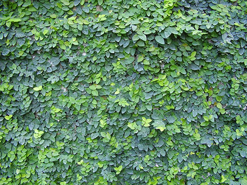 "ficus pumila ""creeping fig""  buy online at annie's annuals, Natural flower"