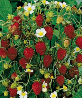 "Fragaria vesca 'Improved Rugen' ""Alpine Strawberry"""