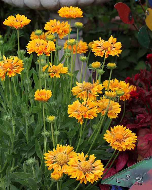 Gaillardia x grandiflora oranges lemons buy online at annies gaillardia x grandiflora oranges lemons mightylinksfo