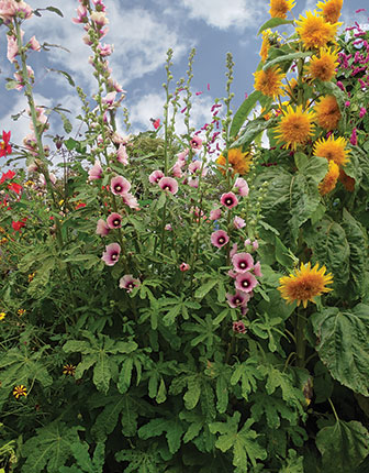 Hollyhock Alcea Halo Apricot Buy Online At Annie S Annuals