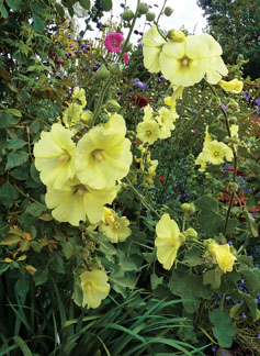 "Alcea rugosa ""Fig-Leaved Hollyhock"""