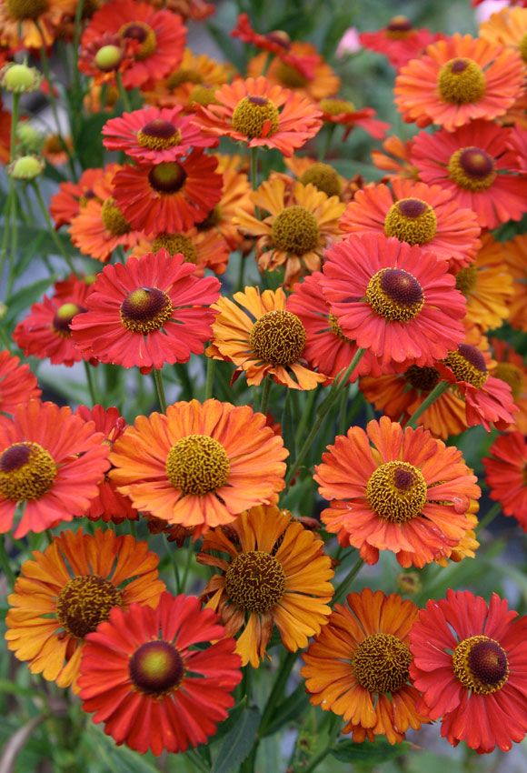 Helenium Autumnale Red Shades Buy Online At Annie S