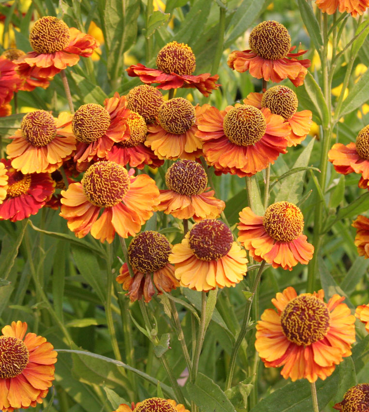 Helenium autumnale 'Red Shades' - Buy Online at Annie's