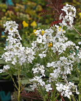 "Hesperis matronalis 'White' ""White Sweet Rocket"""