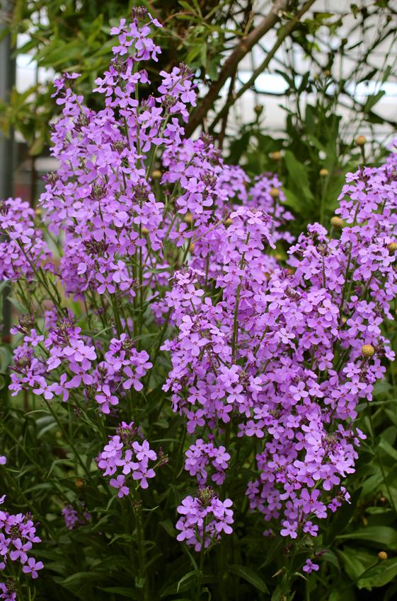 Hesperis Matronalis Violet Sweet Rocket