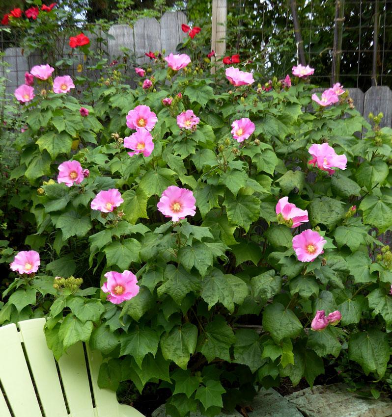 Hibiscus Mutabilis Rubrum Buy Online At Annies Annuals