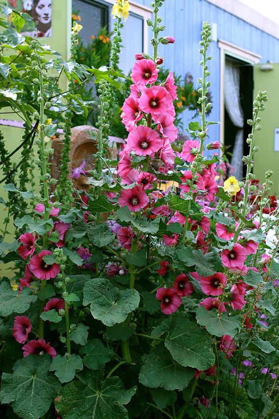 Hollyhock alcea rosea 39 halo cerise 39 buy online at for Alcea rosea