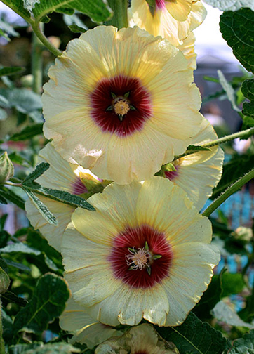 Hollyhock Alcea Rosea Halo Cream Buy Online At Annie