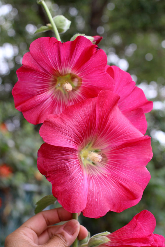 Hollyhock Alcea rosea 39 Henry