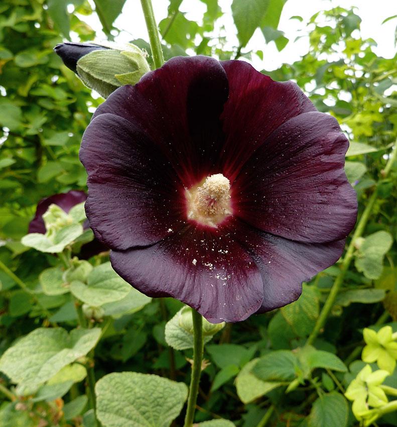 Tall Hollyhock Black Flower Alcea Rosea Nigra: Hollyhock Alcea Rosea 'Nigra' / 'Single Black'