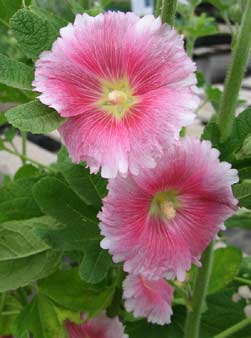 Hollyhock Alcea ficifolia 'Aunt Brownie Fig'