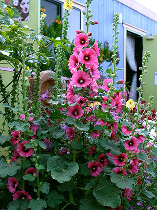 Hollyhock Alcea Halo Cerise Buy Online At Annie S Annuals