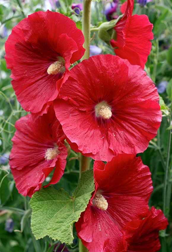 Alcea Mars Magic