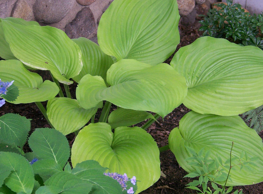 Hosta Sum And Substance Buy Online At Annies Annuals