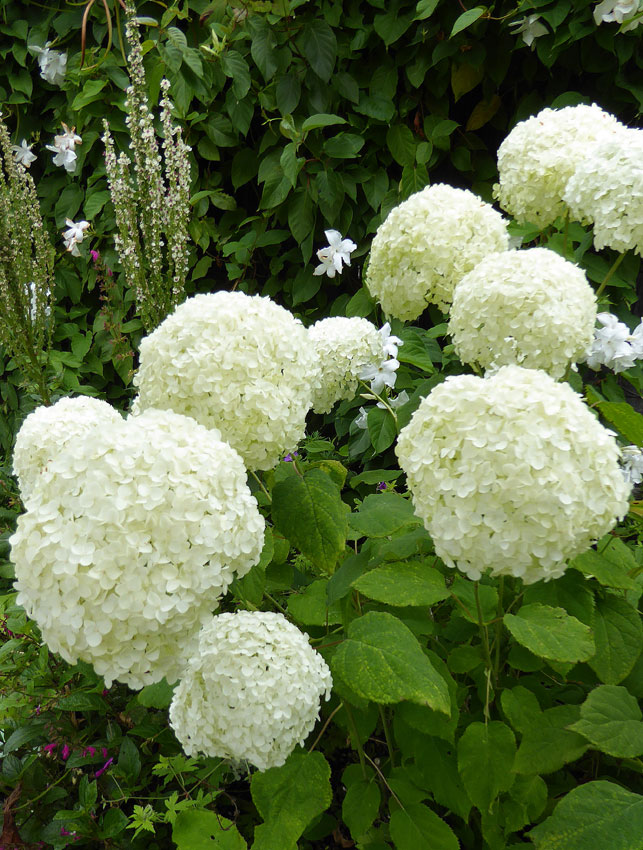 hydrangea arborescens 39 annabelle 39 buy online at annie 39 s annuals. Black Bedroom Furniture Sets. Home Design Ideas