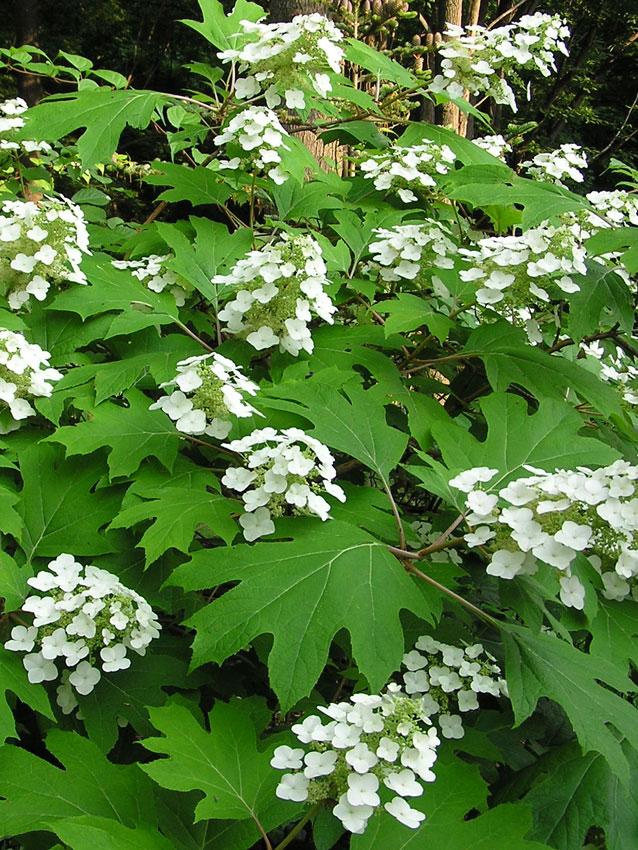 Hydrangea Quercifolia Pee Wee Quot Oakleaf Hydrangea Quot Buy