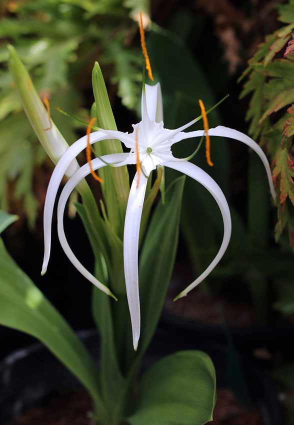 Hymenocallis Harrisiana Quot Spider Lily Quot Buy Online At