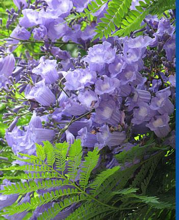 Jacaranda mimosifolia buy online at annie 39 s annuals for Planta ornamental jacaranda