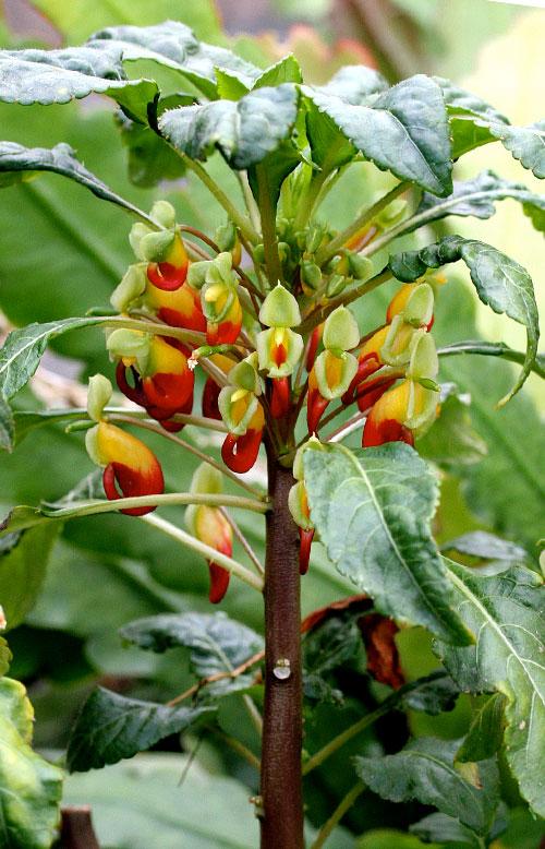 Impatiens niamniamensis 39 african queen 39 buy online at for Recherche plante