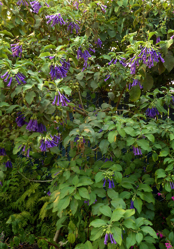 Iochroma Cyanea Royal Blue Buy Online At Annie S Annuals