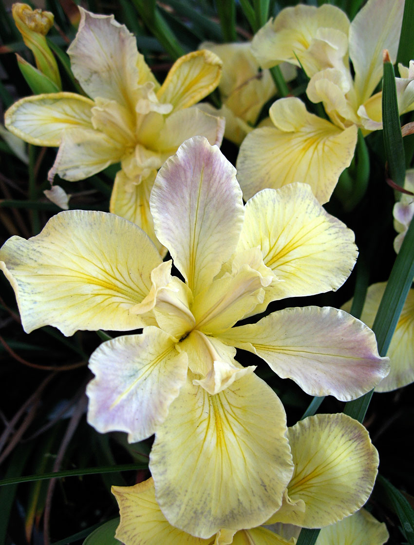 Iris douglasiana banana cream pie buy online at annies annuals iris douglasiana banana cream pie izmirmasajfo