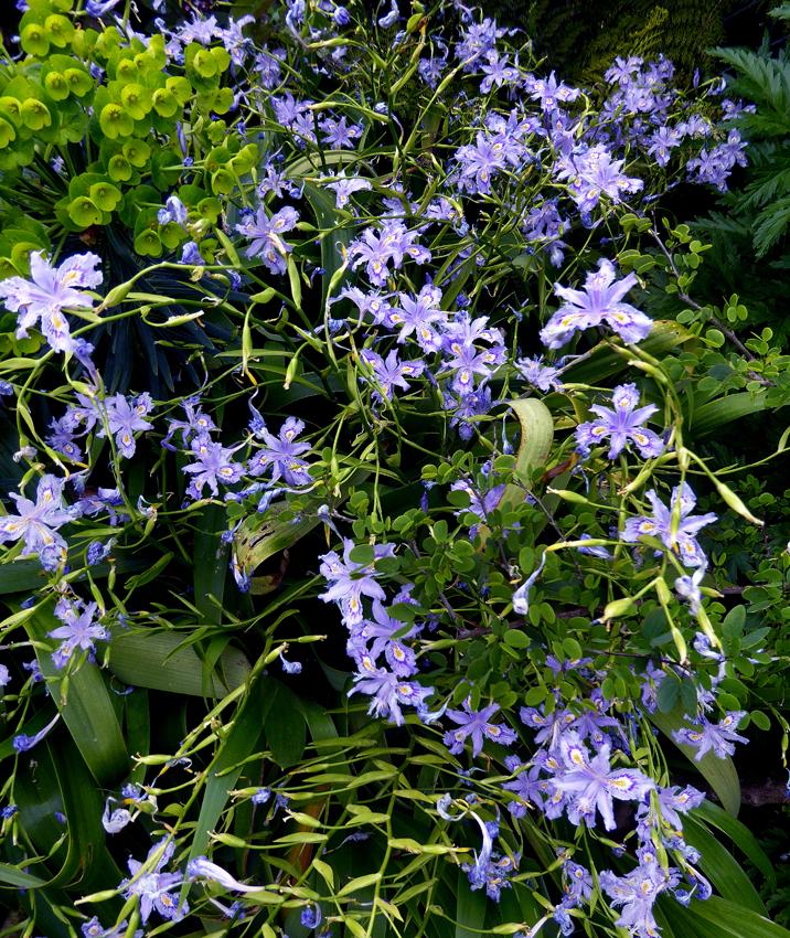 Iris Confusa Chengdu Bamboo Iris Buy Online At Annie S Annuals