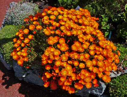 Lampranthus aureus 'Orange Form'