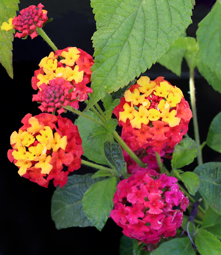 Lantana Irene Buy Online At Annies Annuals